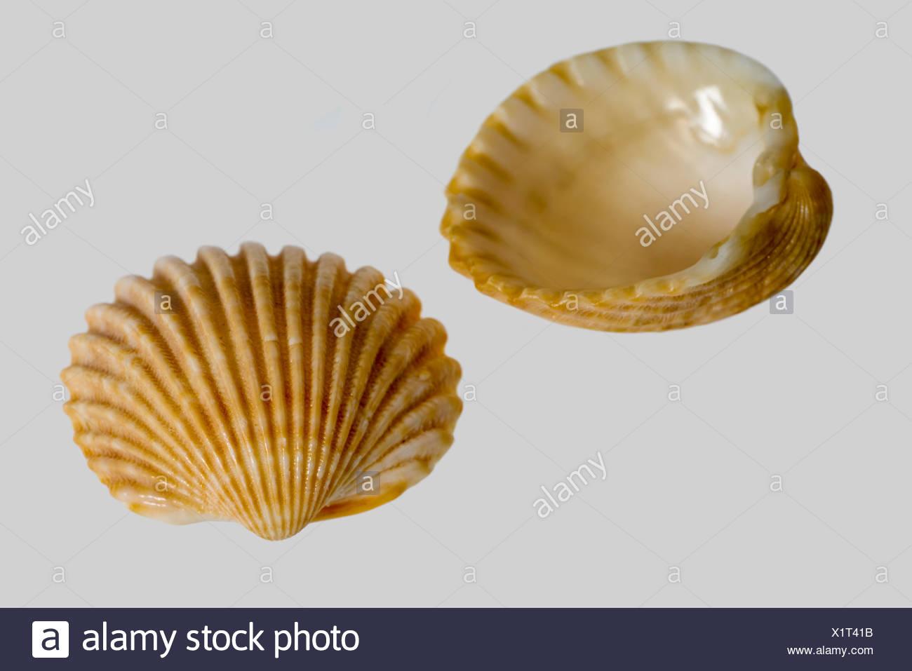 Makroaufnahme von zwei Muscheln in grau zurück Stockbild