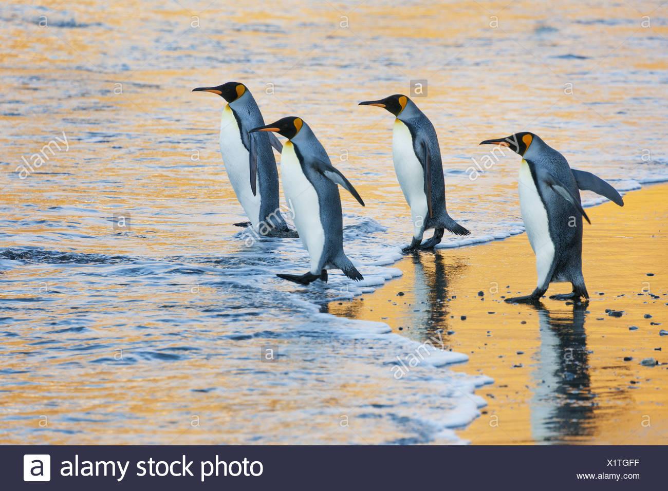 Eine Gruppe von vier Erwachsenen König Pinguine am Rand des Wassers zu Fuß ins Wasser bei Sonnenaufgang Reflected light Stockbild