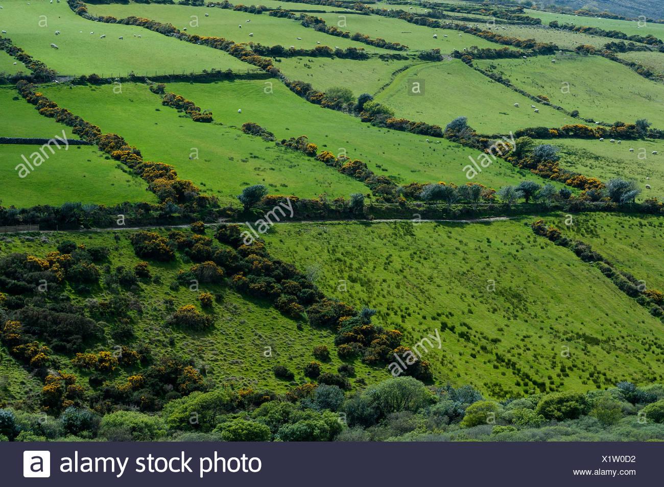 Schaf läuft im grünen, umgeben von Hecken, Republik Irland, Europa Stockbild
