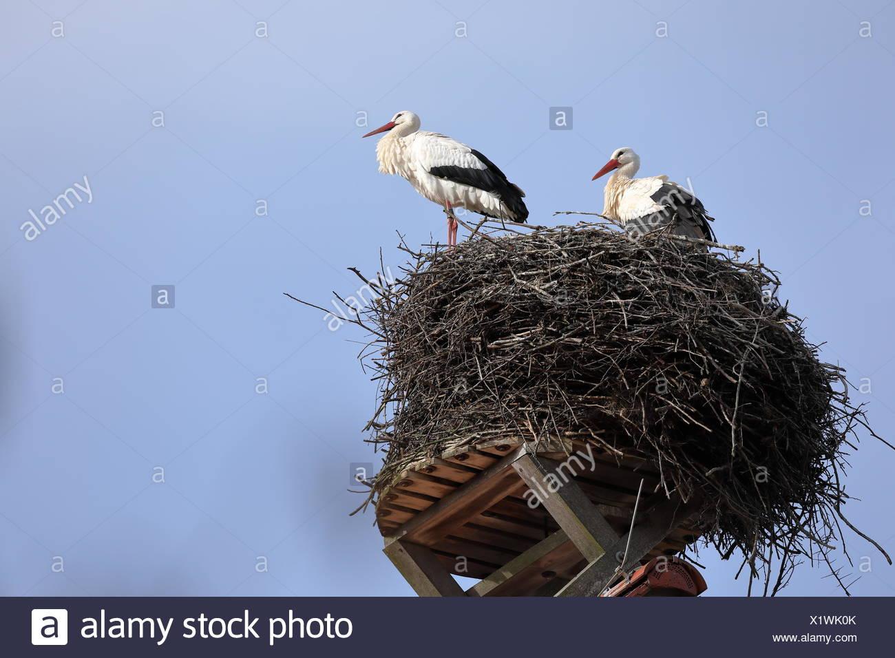Weißstorch im Nest Stockbild