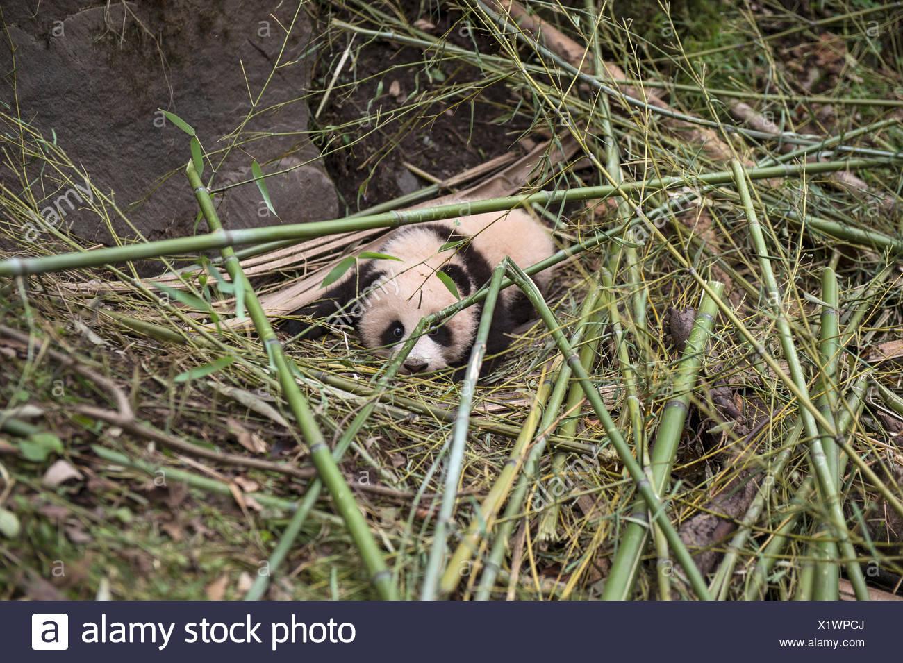 Eine Grosser Panda Cub Wartet Auf Ihre Mutter Zuruck Nach Dem Essen