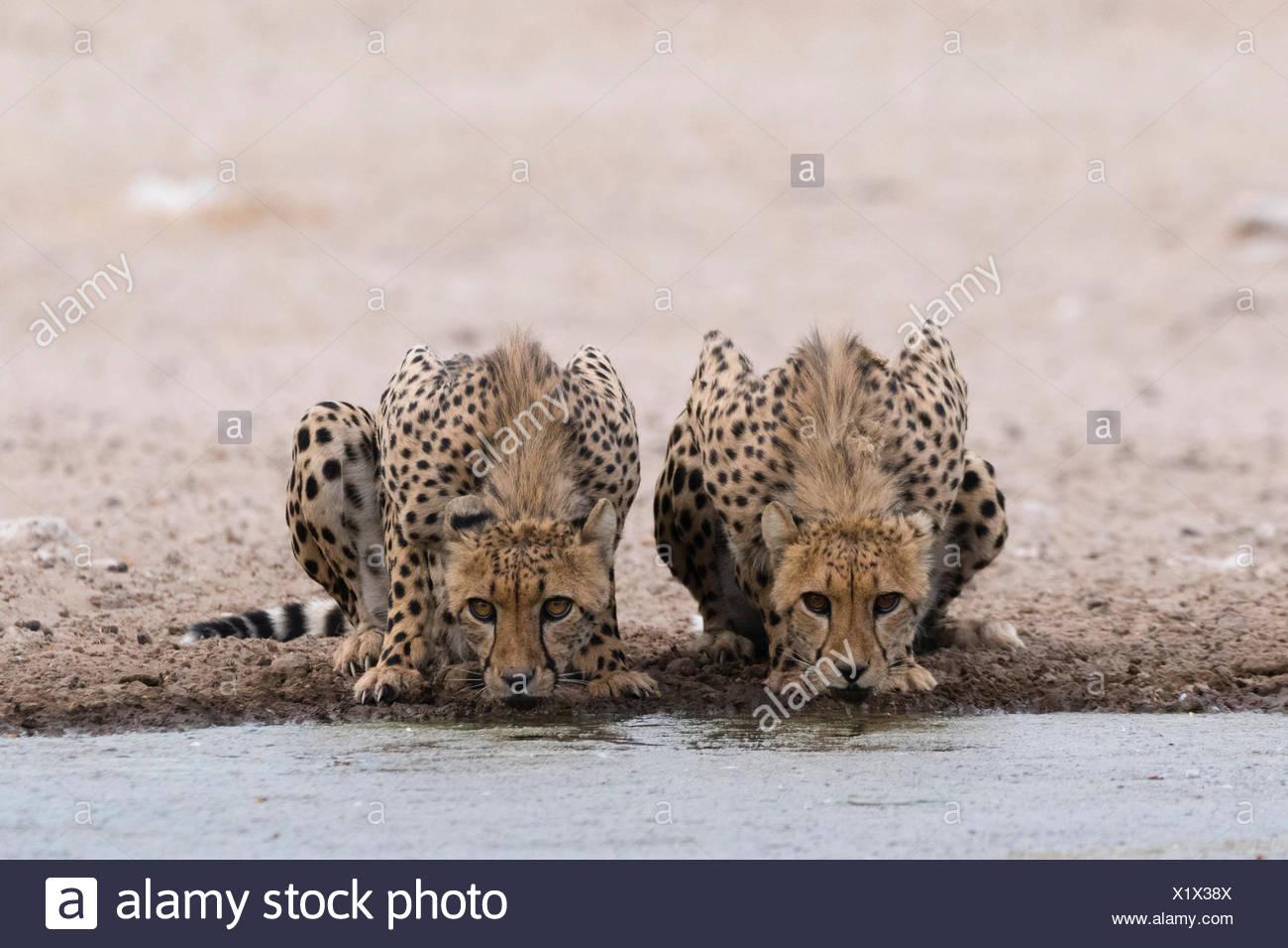 Zwei Geparden, Acinonyx Jubatus, an einer Wasserstelle zu trinken. Stockbild