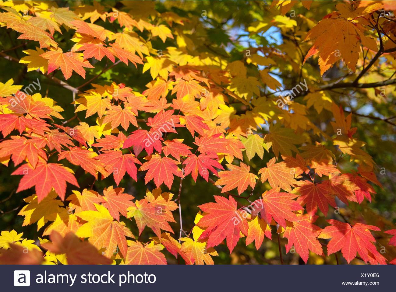 Japanischer Ahorn (Acer Japonicum), verlässt Zweig mit Herbst Stockbild