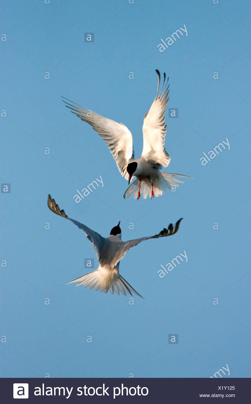 Seeschwalbe (Sterna Hirundo), zwei Vögel, die einander in der Luft, Niederlande, Texel angreifen Stockbild