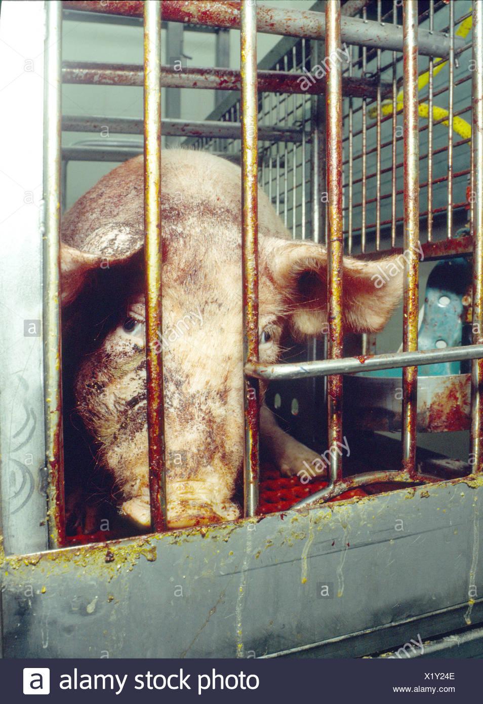Haltung von Haustieren Viehzucht problematisch Käfig Tier Box Problem ausgeschlossen Angst Emotion Erschöpfung rese Stockbild