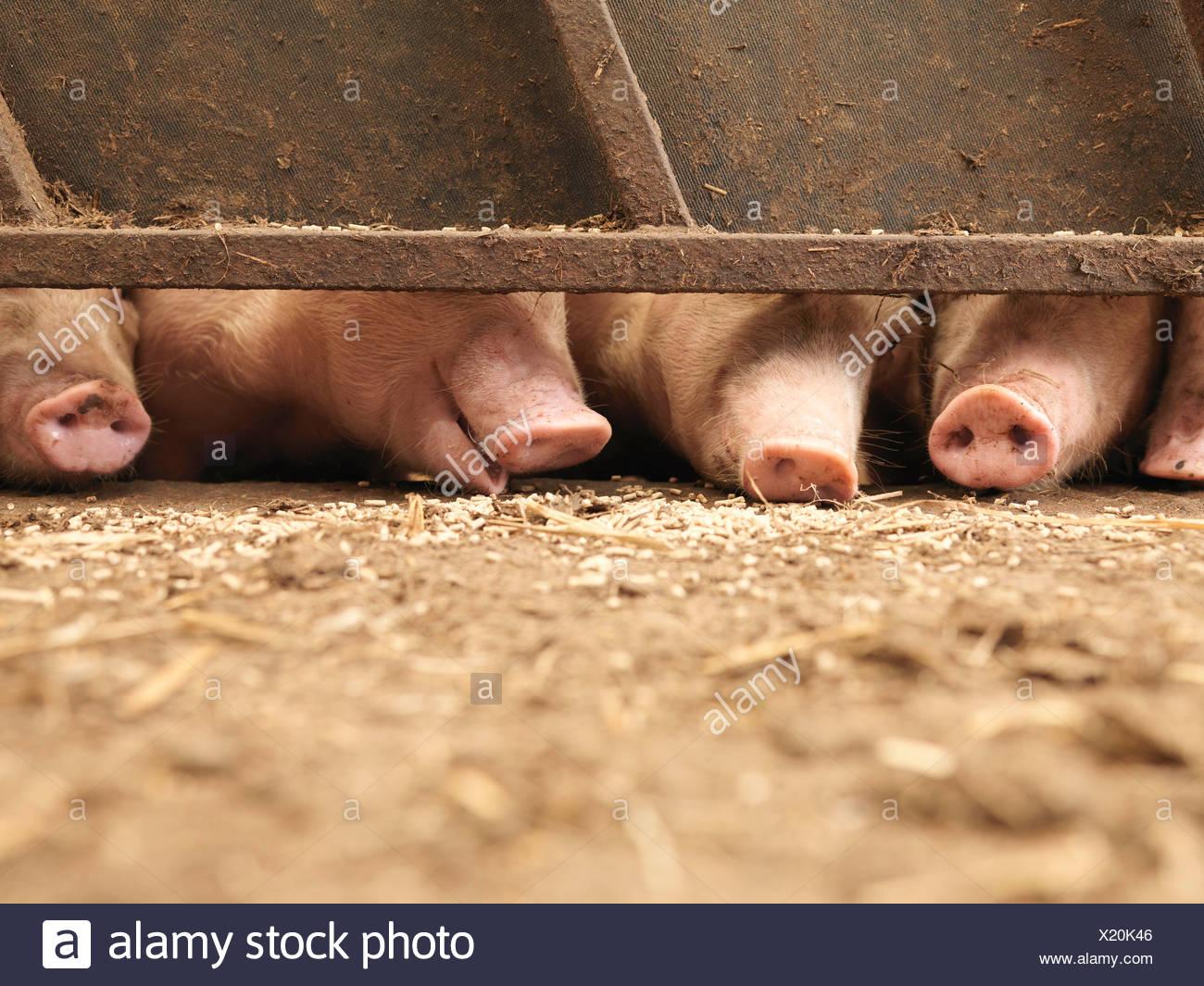 Schwein Schnauzen Stockbild