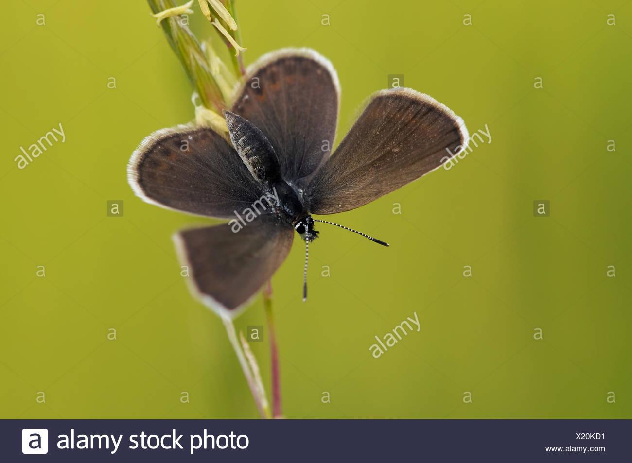 Silber besetzte blau (Schmetterling) Stockbild