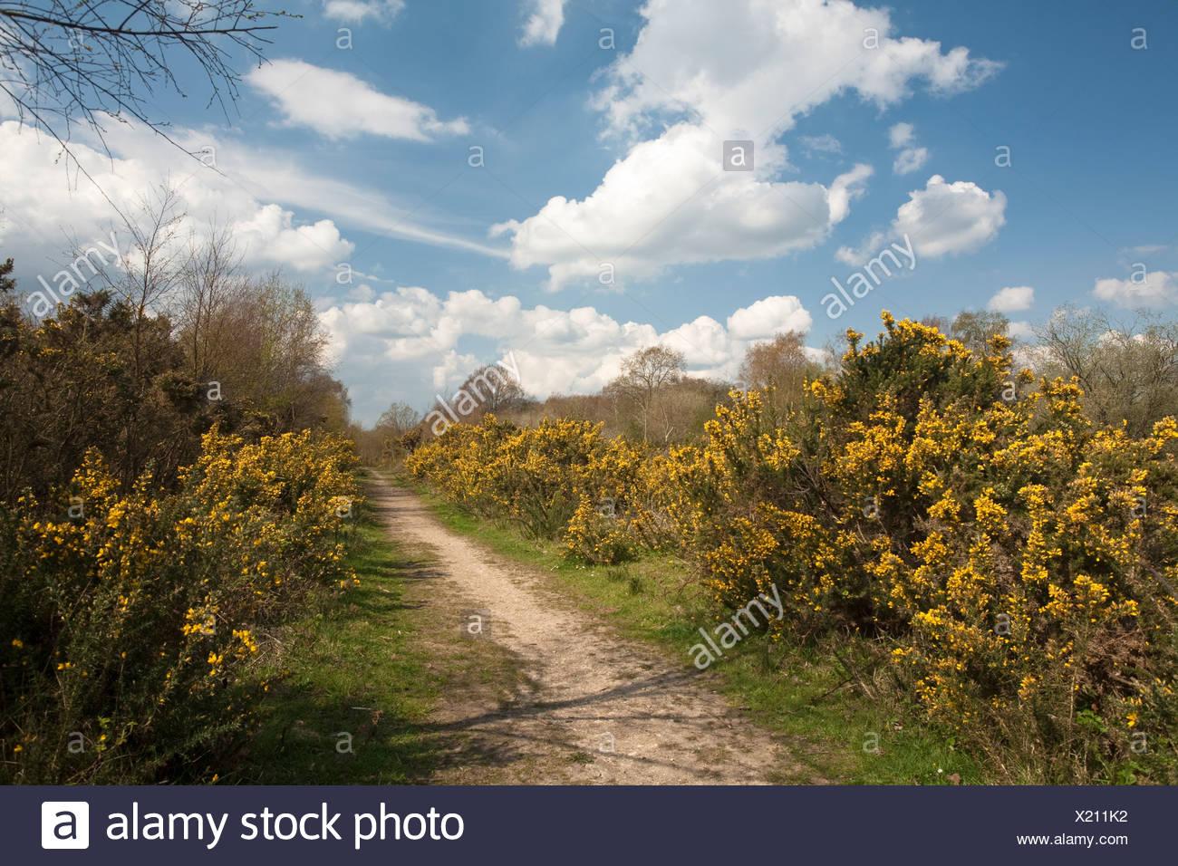 Frühling auf Greenham Common, in der Nähe von Newbury, Berkshire, Großbritannien Stockbild