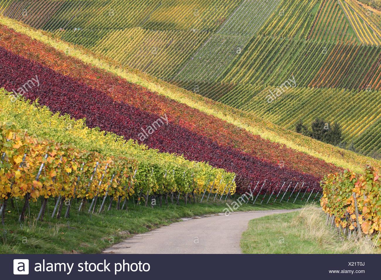 Weinberge Mit Weintrauben Im Herbst Landschaft Stockbild