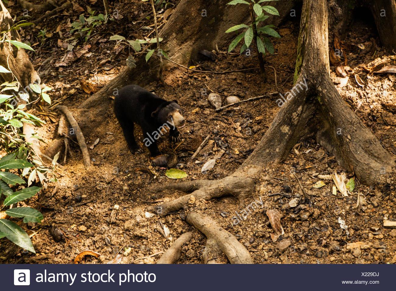 Eine Sonne Bären Bornean Sun Bear Conservation Center in Malaysia Borneo. Stockfoto