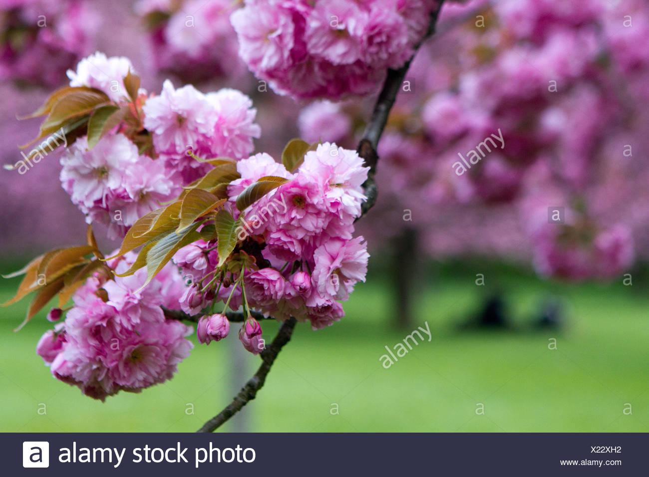 Von asiatischen Kirschblüten
