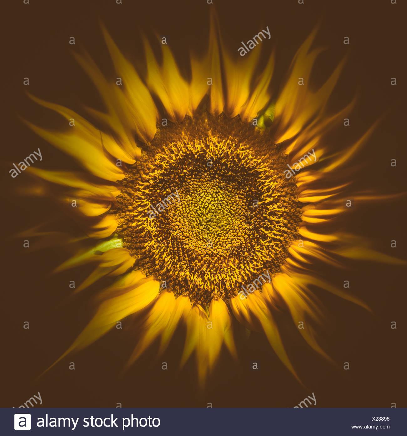 Sonnenblume Sonne flare Stockbild