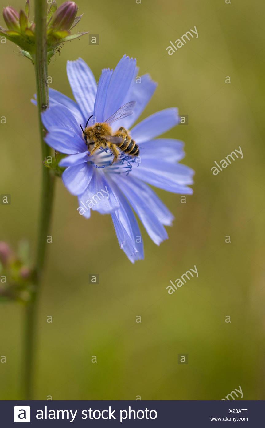 Chicorée Blüte Mit Wilden Biene Cichorium Intybus Apiformes