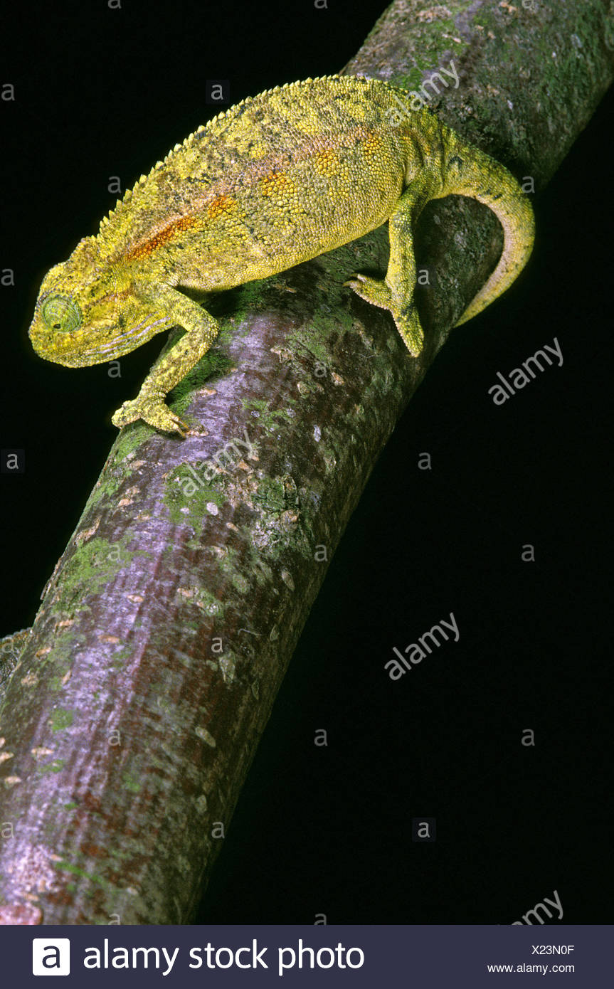 ELLIOT CHAMELEON OR MONTANE SIDE-STRIPED Chamäleon Chamaeleo Ellioti, Erwachsene ON BRANCH Stockbild
