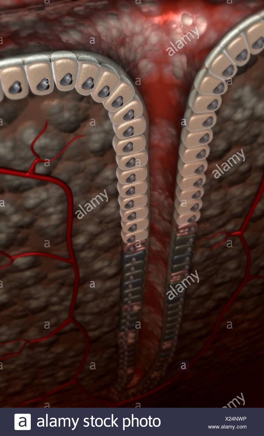 Ungewöhnlich Rüden Genitalien Anatomie Bilder - Physiologie Von ...