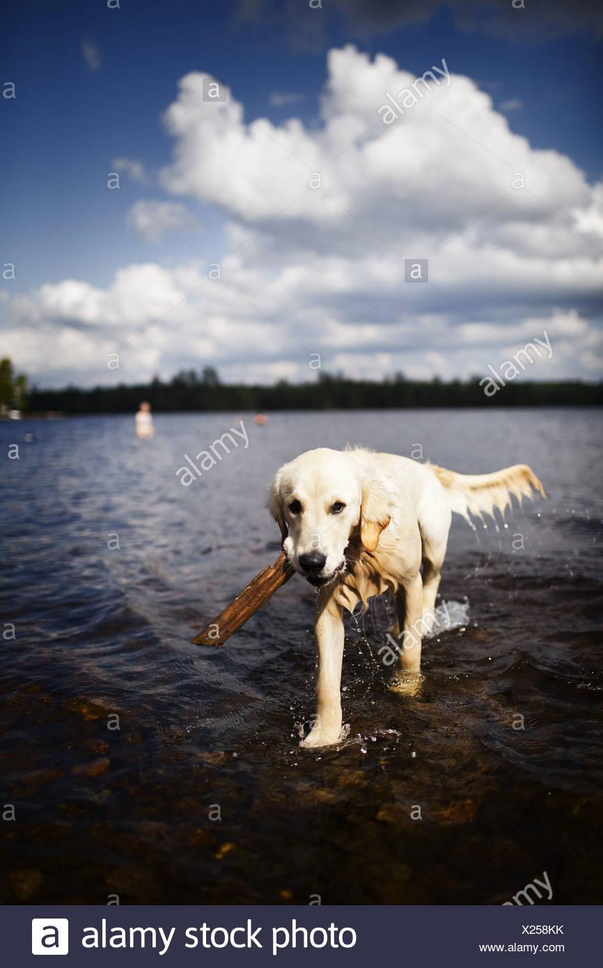 USA, nassen Hund Familie Haustier Flachwasser mit stick Stockbild