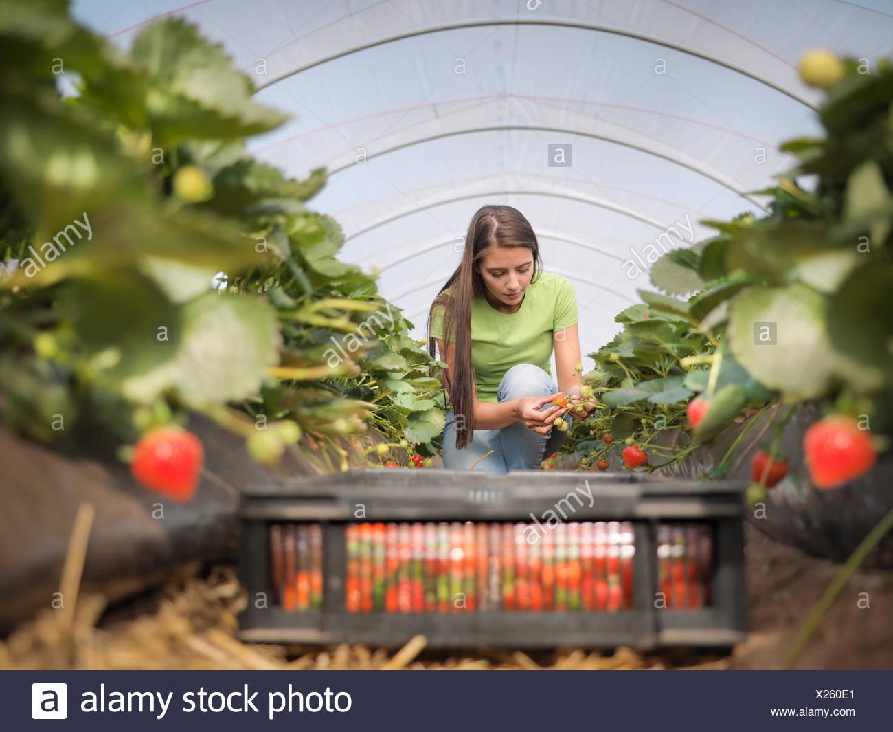 Arbeiter-Füllung-Tablett mit Bastkörbe mit Erdbeeren auf Obsthof Stockbild