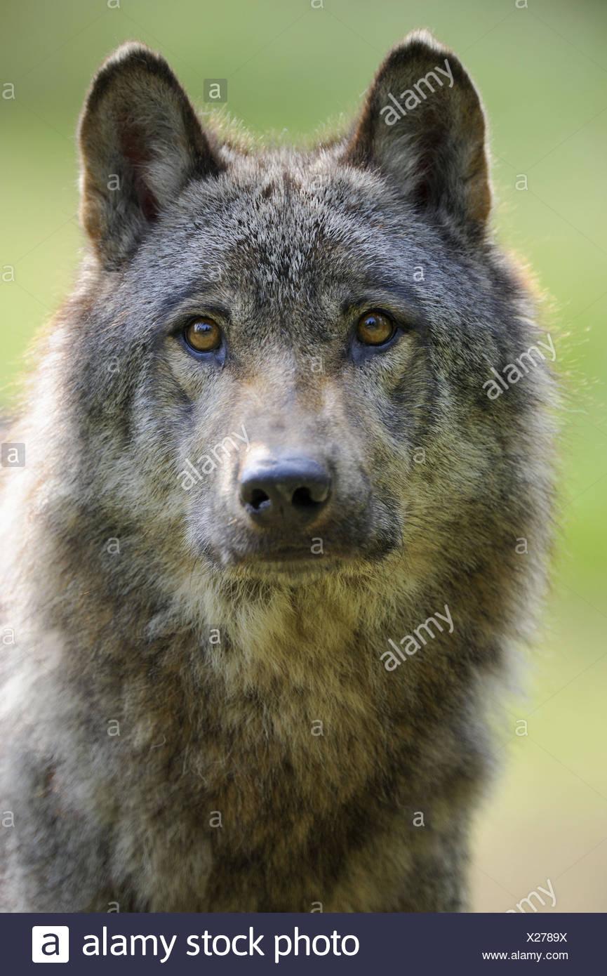 Porträt von europäischer Wolf (Canis Lupus) in Gefangenschaft, Frankreich Stockbild