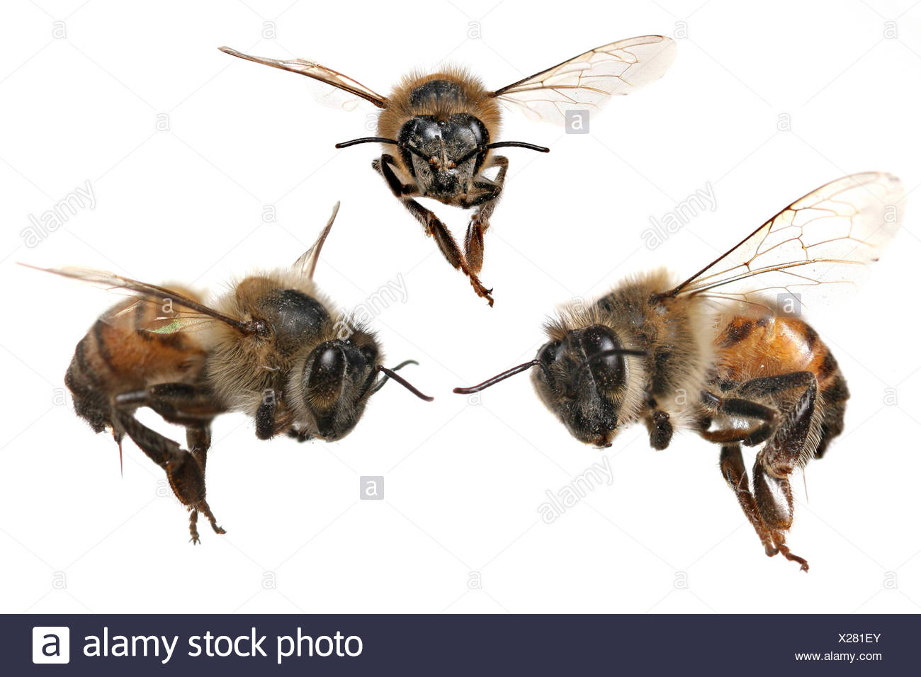 Ziemlich Honigbiene Anatomie Zeitgenössisch - Anatomie Von ...