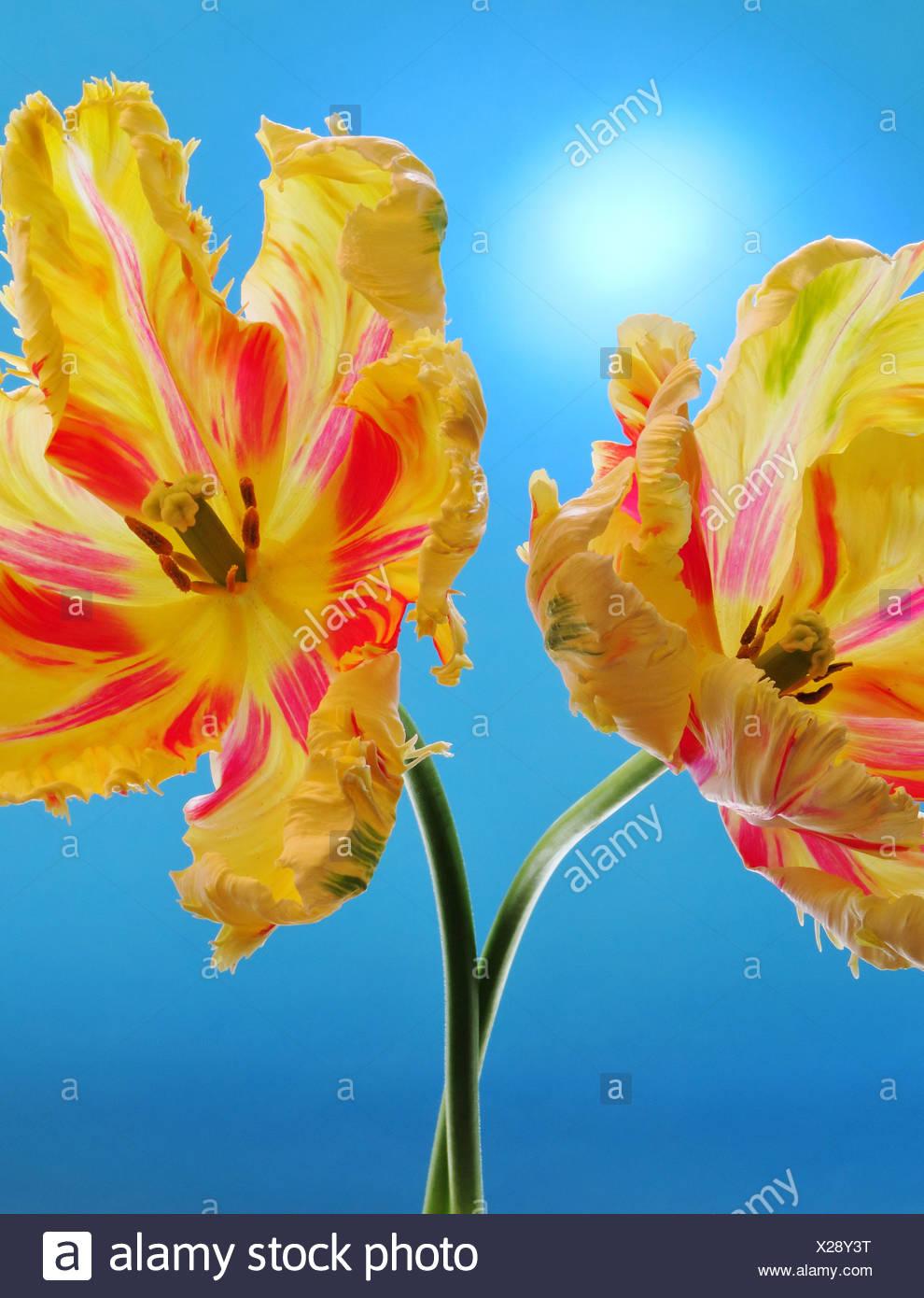Blumen, Pflanzen, Tulpen, zwei, Blüten, blüht, Tasse, rot, gelb, Konzepte, Stockbild