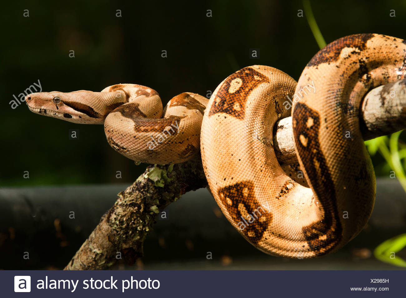 Boa Constrictor klammerte sich am Stick, Pennsylvania, USA Stockbild