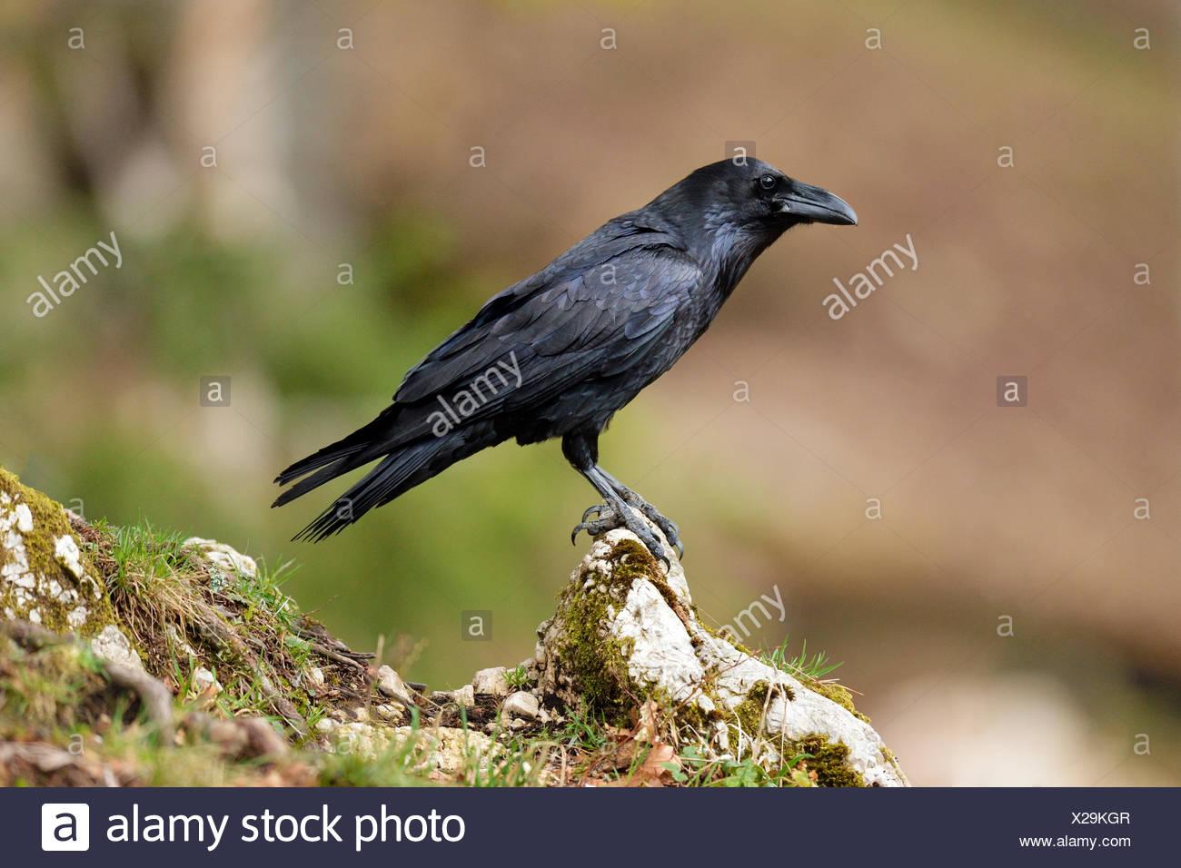 Raven (Corvus Corax) sitzen auf Stein, Kanton Jura, Schweiz Stockbild