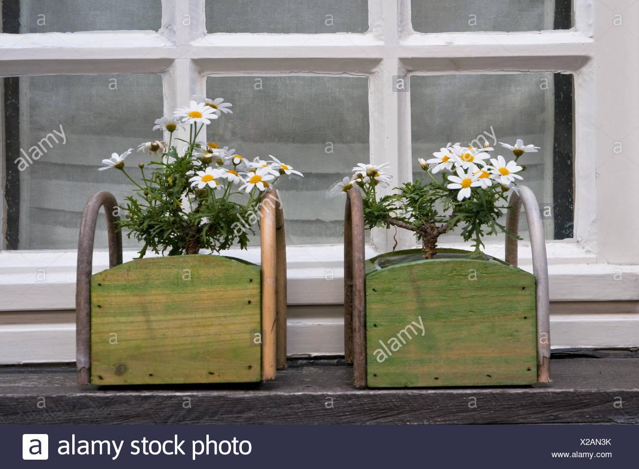 Windows Oxeye Daisys Blute Deutschland Nordrhein Westfalen