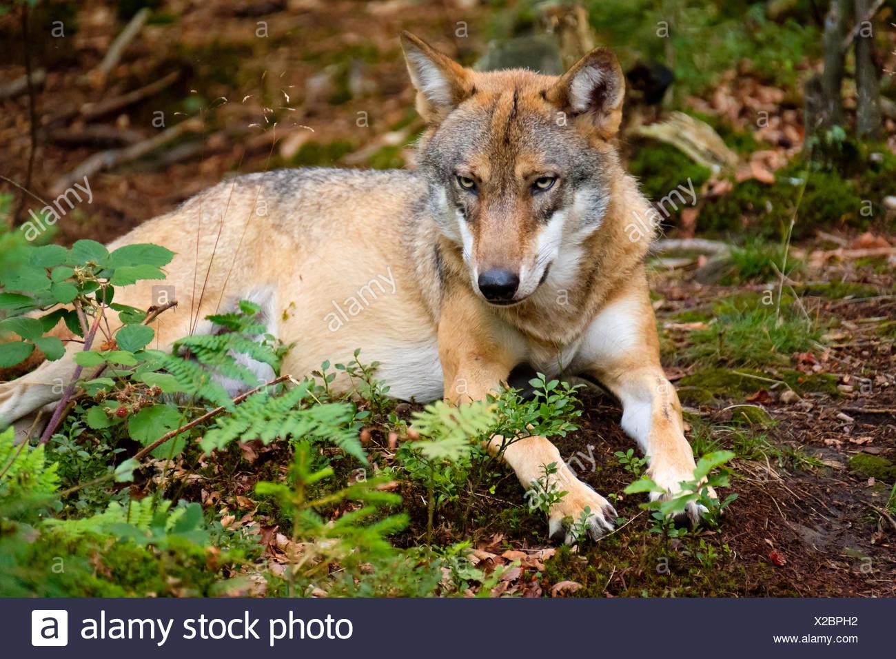 Wolf (Canis lupus), Tier-Freigelände im Nationalparkzentrum Falkenstein, Nationalpark Bayerischer Wald, Niederbayern, Bayern, Deutschland Stockbild