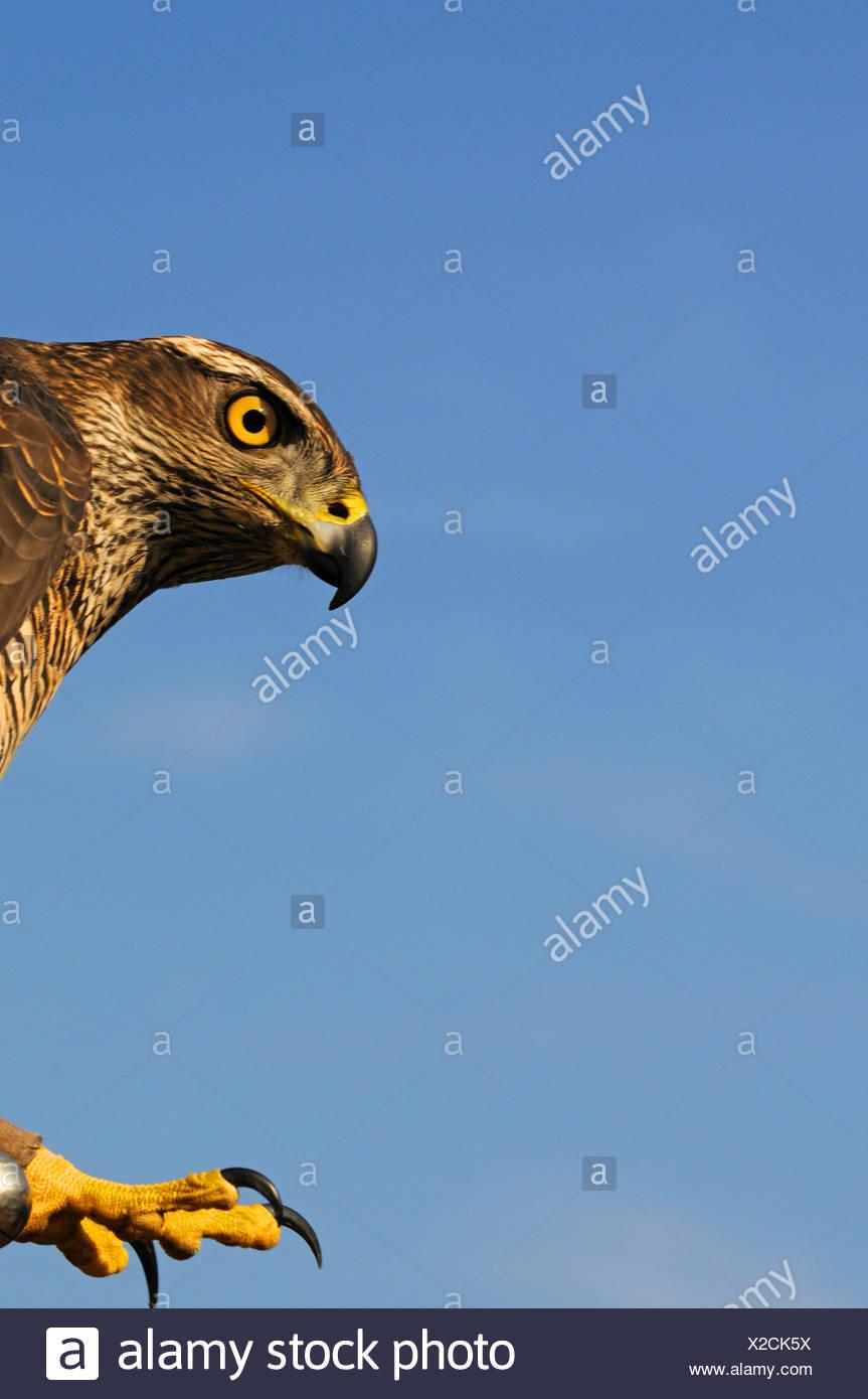 nördlichen Habicht (Accipiter Gentilis), Seitenansicht des Kopfes und Klaue, Deutschland Stockbild