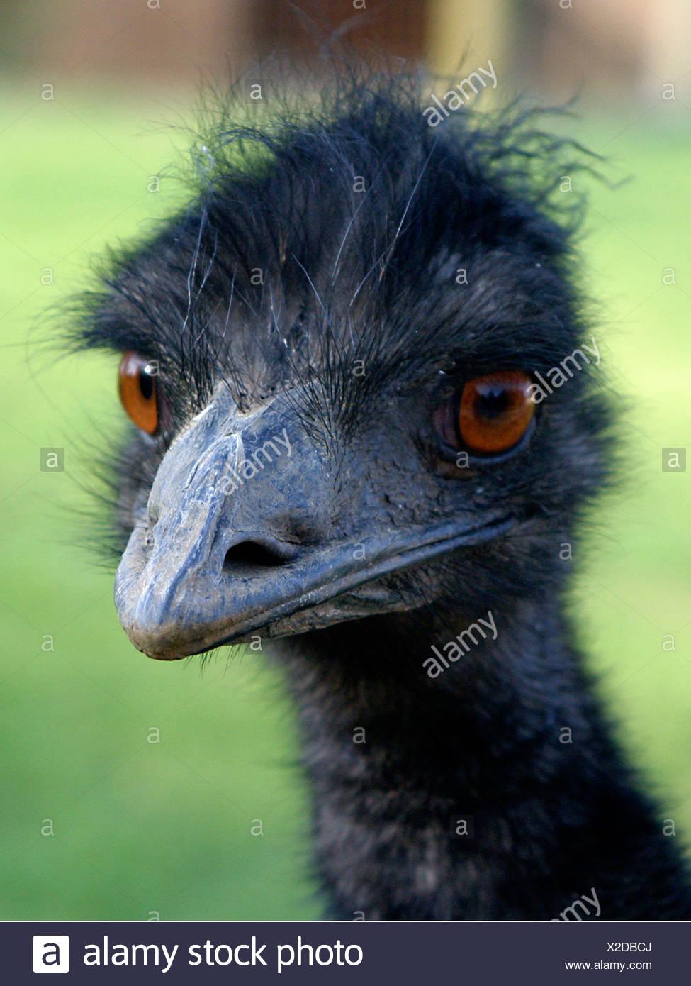 Der Leiter der emu. Stockfoto