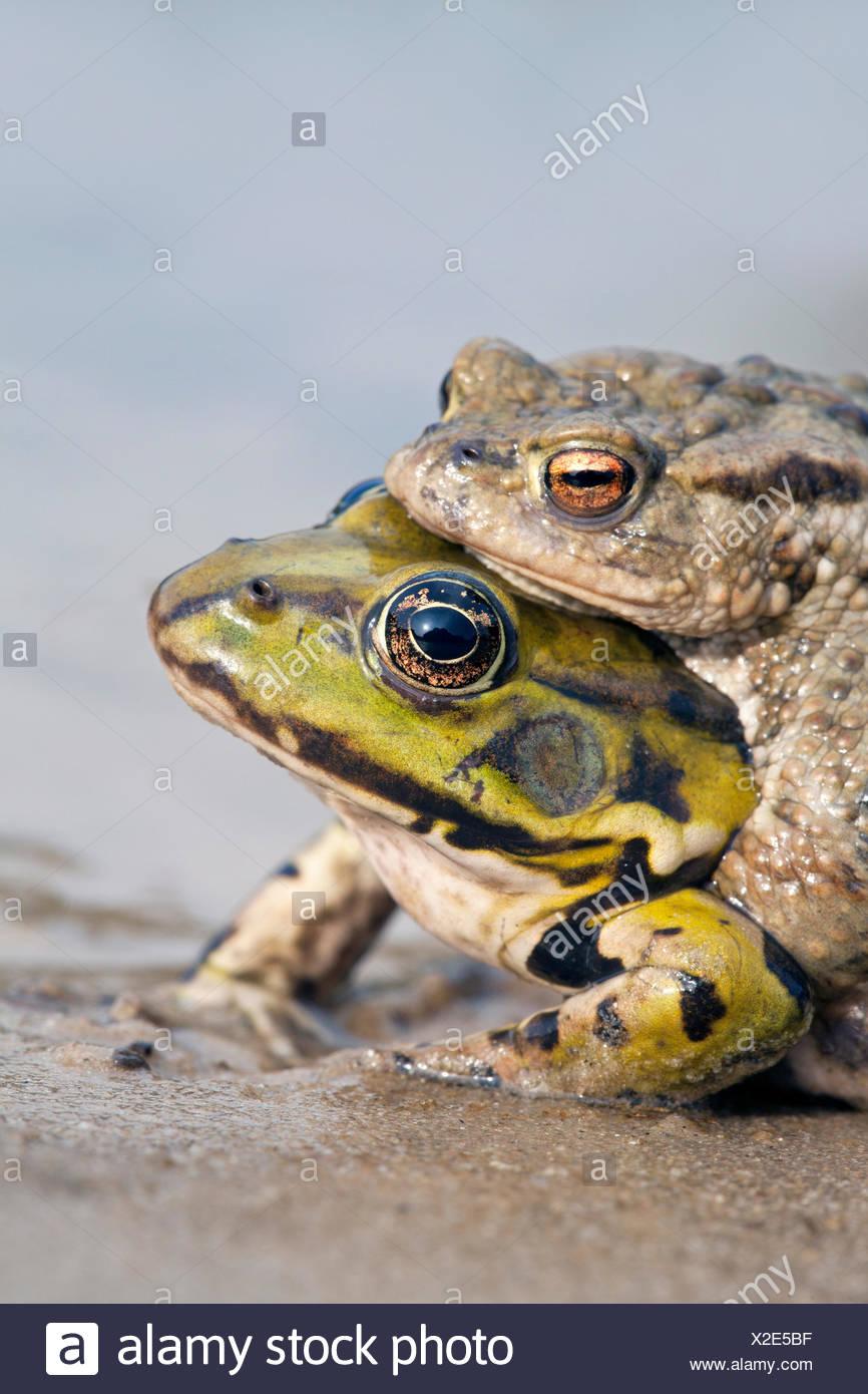 Foto eines Fehlers Paarung zwischen Kröte und grünen Grasfrosch Stockbild