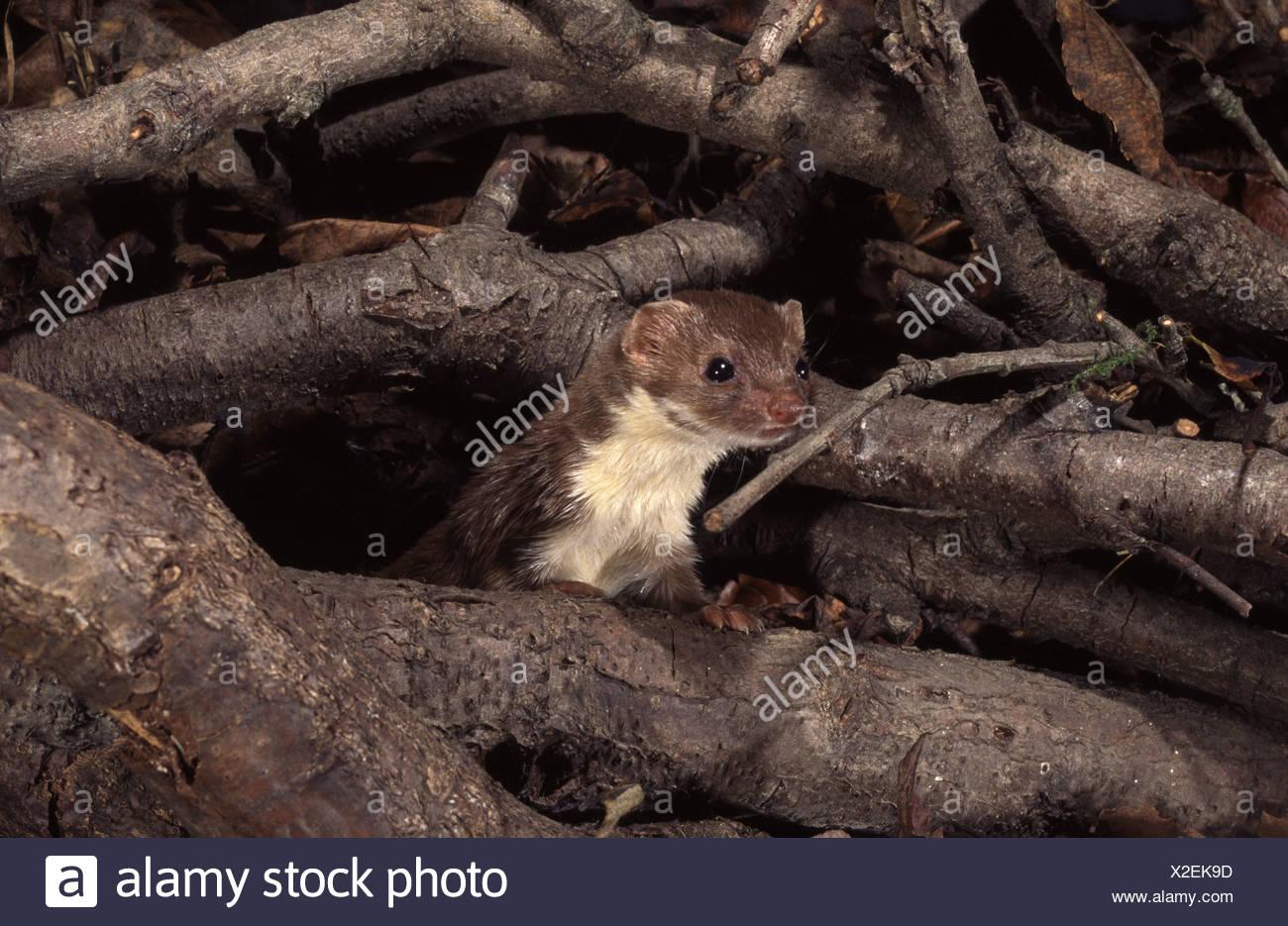 1dca71ae656d9 Wiesel in einem Koffer Voor Nahrung suchen. Mauswiesel Haltet Ausschau  Zwischen Dem Abgekapptes Holz Stockbild