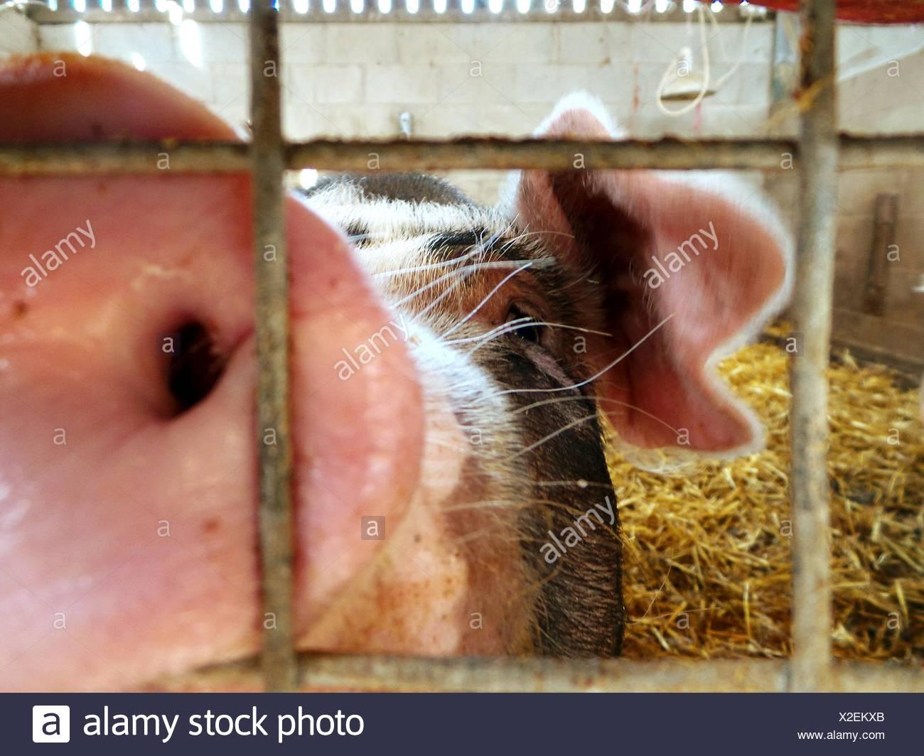 Nahaufnahme des Schweins auf tierischen Stift Stockbild