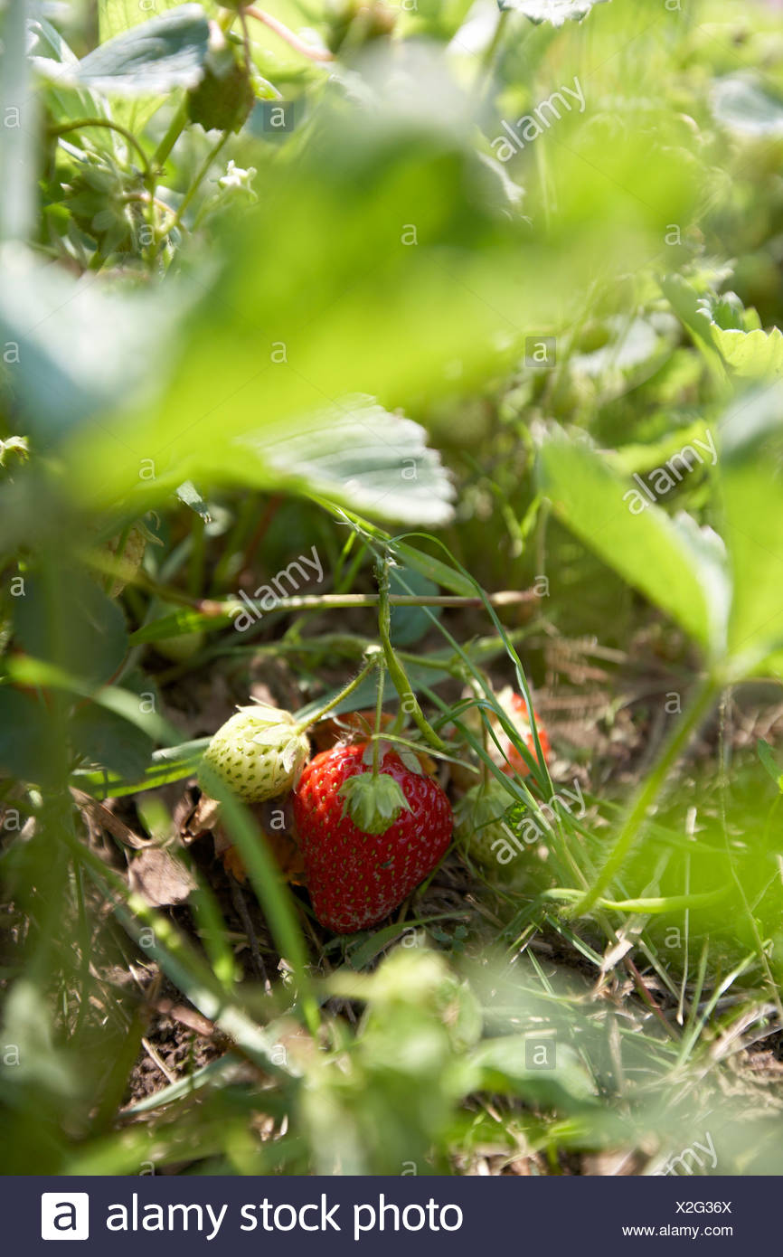 Reife Erdbeeren, biologischen Dynamik (Bio-dynamischen) Landwirtschaft, Demeter, Niedersachsen, Deutschland Stockbild