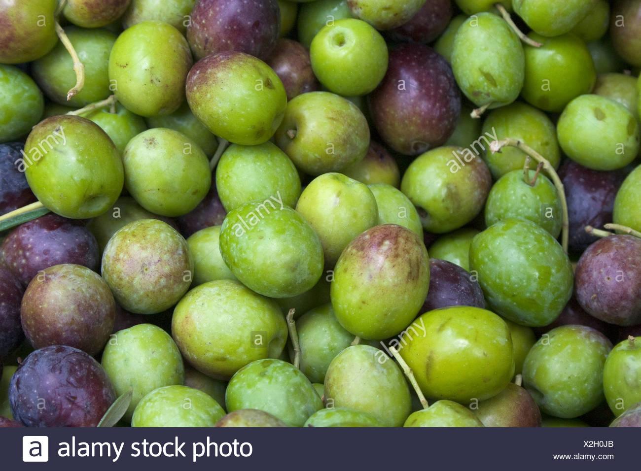 Landwirtschaft - Nahaufnahme von frisch geernteten Oliven / Arbuckle, Kalifornien, USA. Stockbild