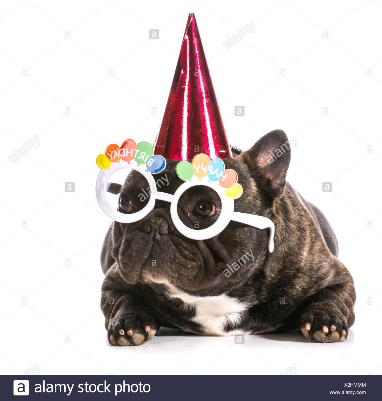 Franzosische Bulldogge Mit Geburtstag Hut Und Brille Auf Weissem