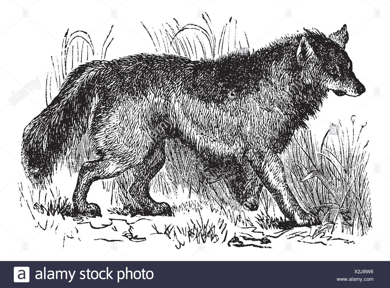 Wolf Sketch Stockfotos & Wolf Sketch Bilder - Seite 3 - Alamy