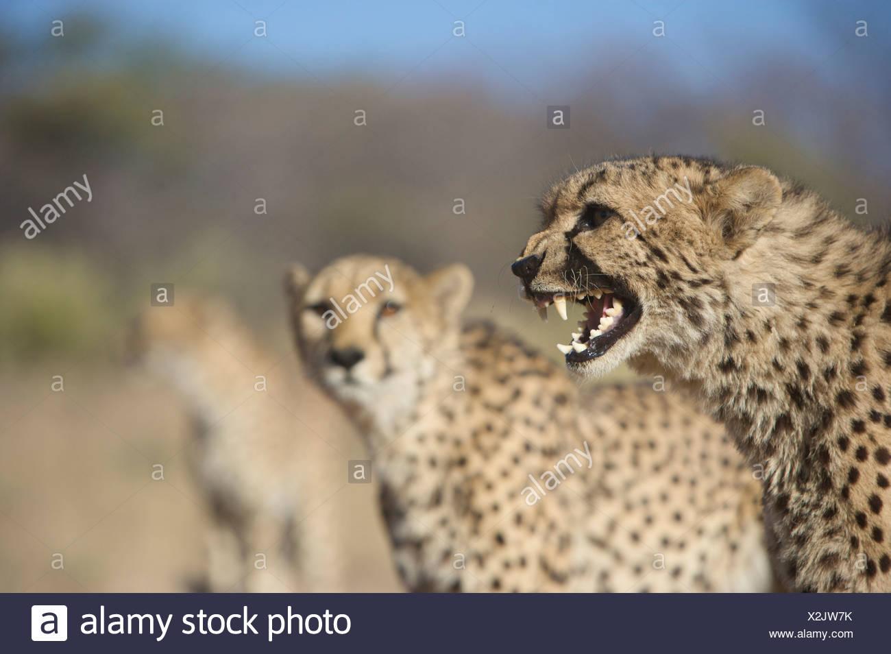 Gepard (Acinonyx Jubatus) knurrend mit anderen im Hintergrund, Namibia Stockfoto
