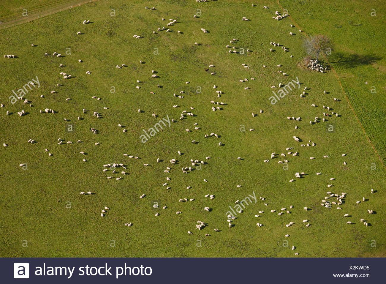 Schafherde auf Weide, schwäbischen Alb, Baden-Württemberg, Deutschland, Luftbild Stockbild