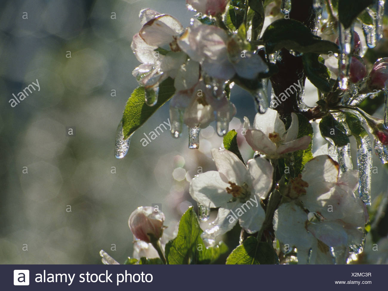 Prächtig Apfel Baum blüht eiskalt Frost Jahreszeiten detail Natur Pflanzen @VQ_77