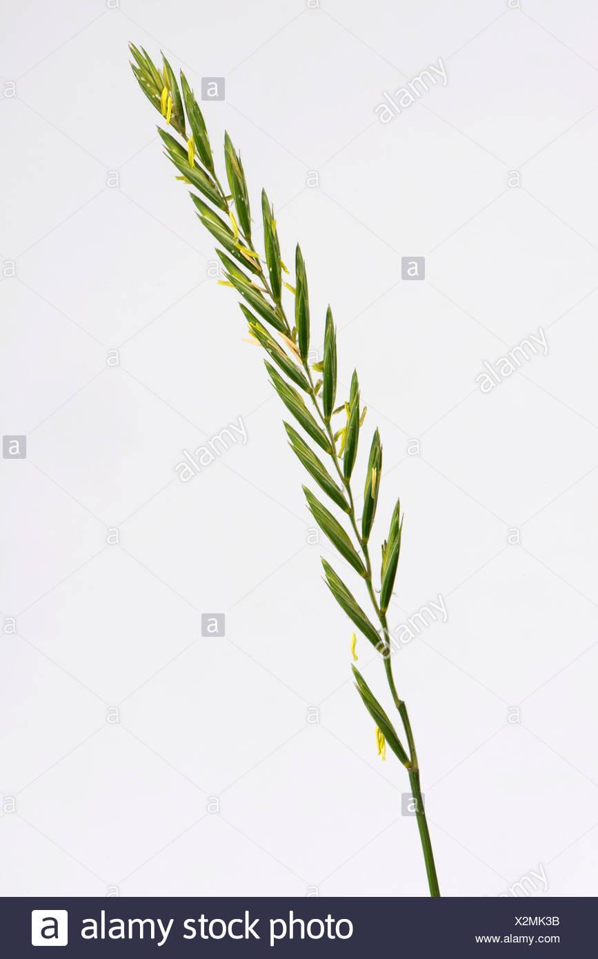 Quecken, Elymus Repens, Blüte Spike von wichtigen landwirtschaftlichen Unkraut Stockbild