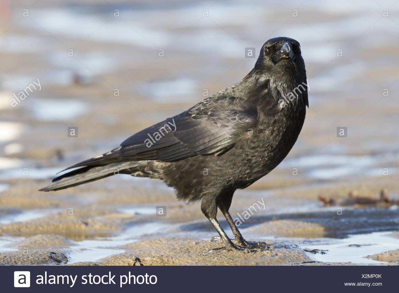 Kolkrabe (Corvus Corax) am Strand Stockbild