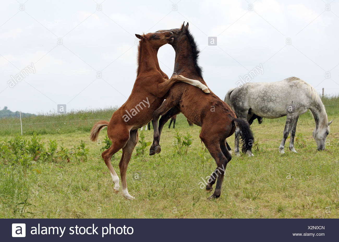 Fohlen auf der Weide zusammen spielen Stockbild