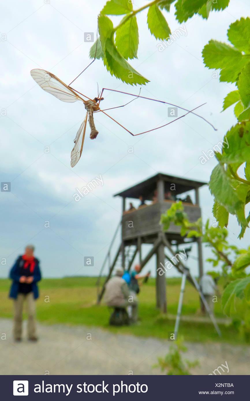 Crane Fly (Tipula spec.), auf einem Zweig mit Blättern, in den Hintergrund Personen auf einem Hochsitz, Apetlon, Seewinkel, Burgenland, Österreich Stockbild