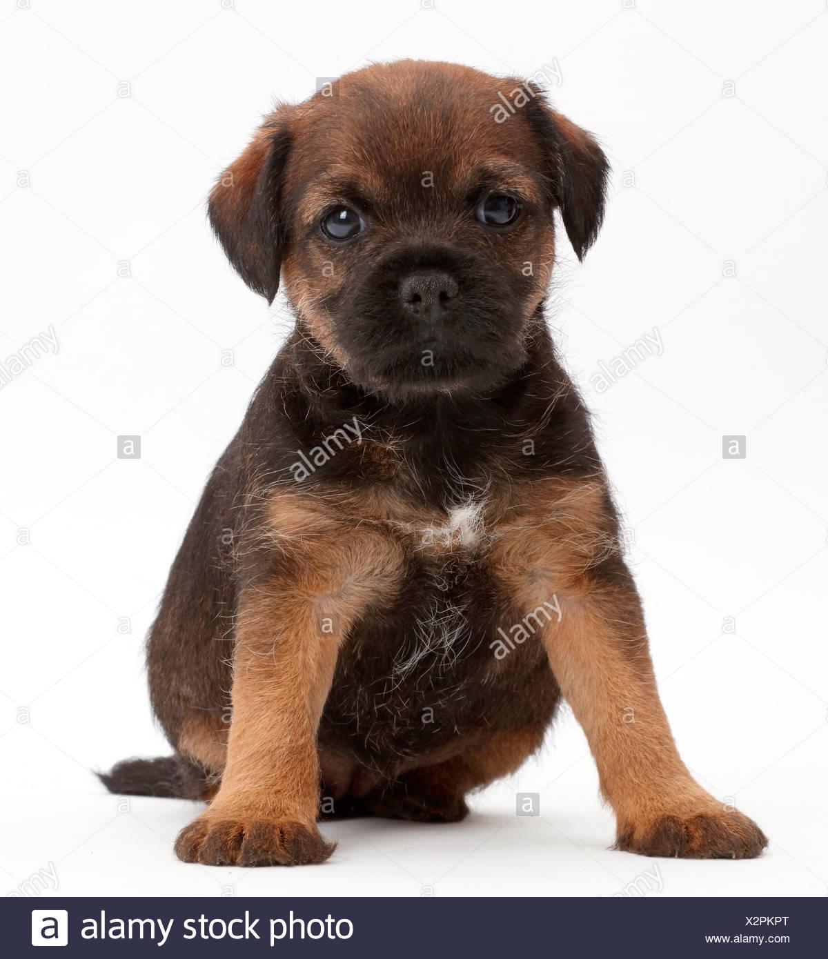Border Terrier Welpen Alter 5 Wochen Stockfotografie Alamy