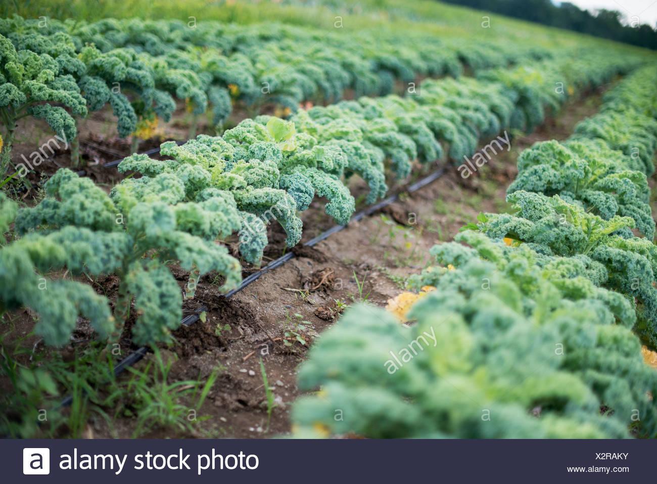 Reihen von lockigen grünen Gemüsepflanzen wachsen auf einem Bio-Bauernhof. Stockbild