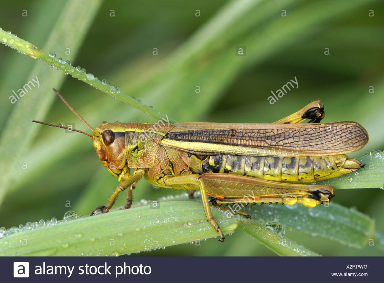 Heuschrecke (Stetophyma Grossum) Stockbild