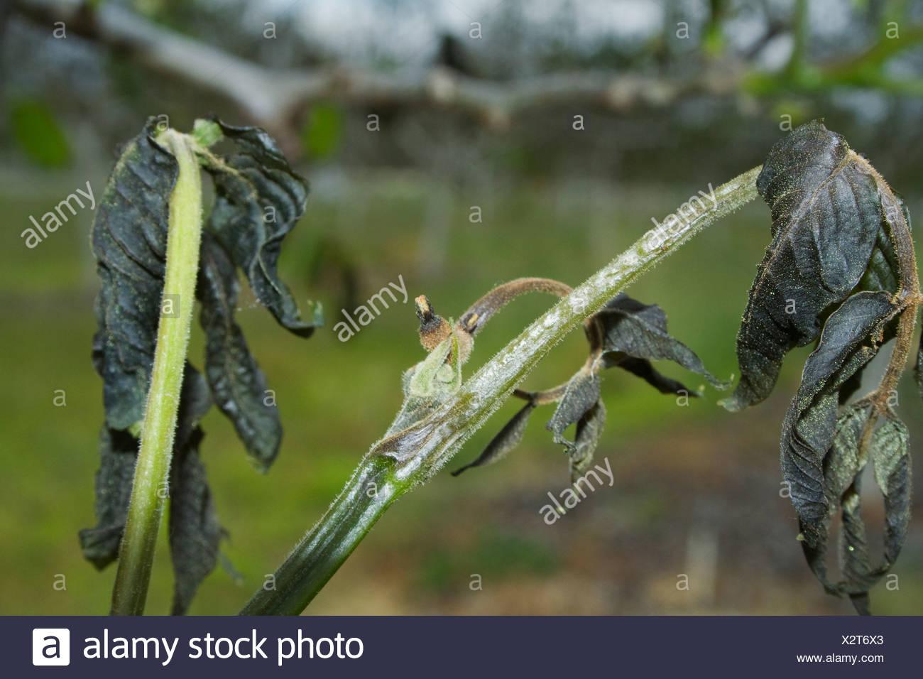 Landwirtschaft - tot Nussbaum Laub durch eine schwere ungewöhnliche Feder verursacht Einfrieren / in der Nähe von Dairyville, Kalifornien, USA. Stockbild