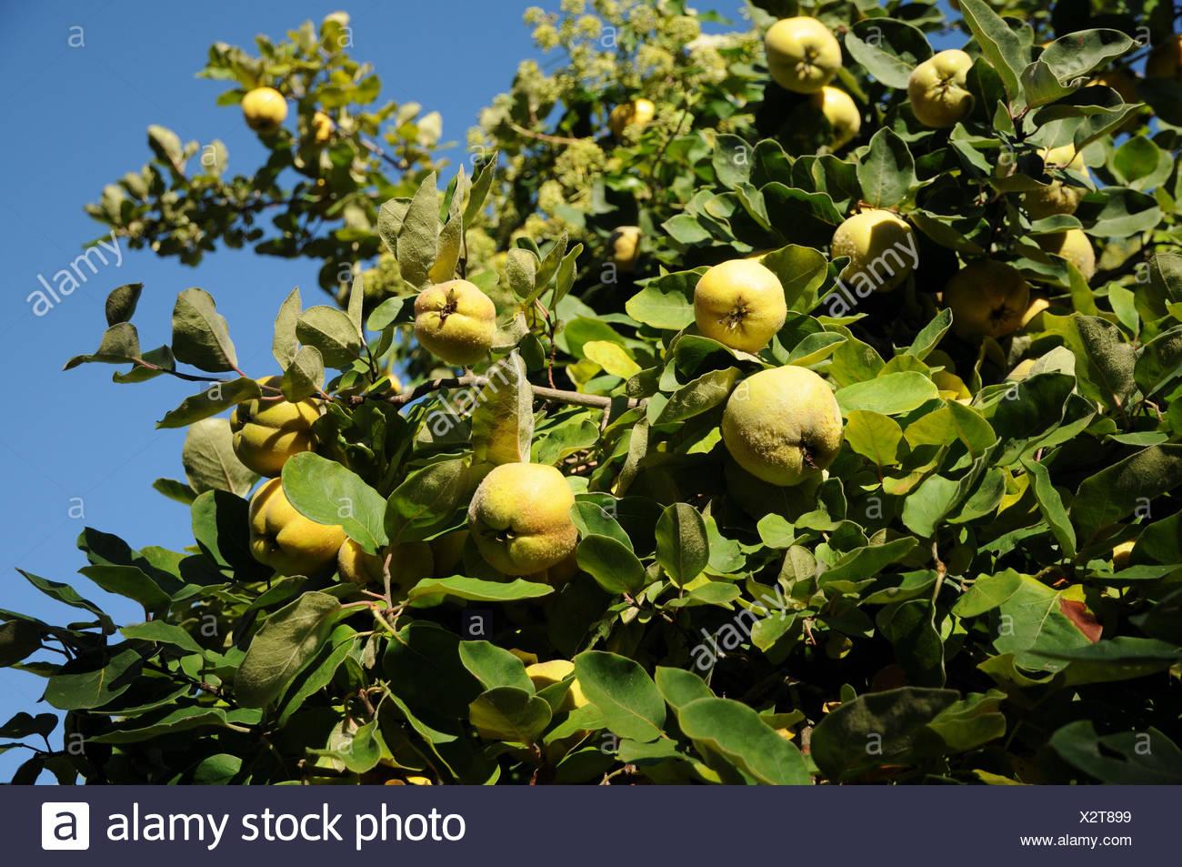 Quitte Baum Stockbild