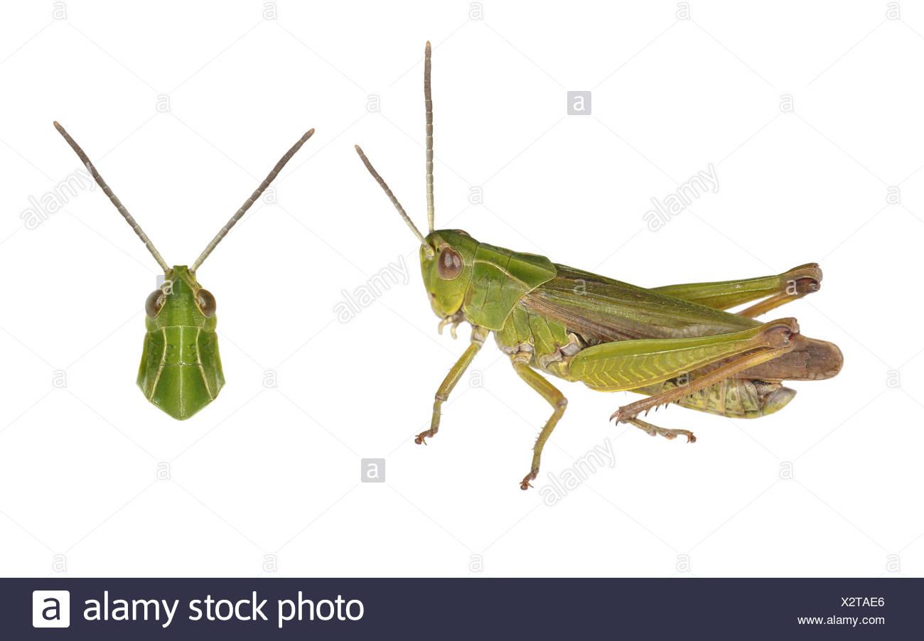Gemeinsamen grünen Heuschrecke - Omocestis viridulus Stockbild